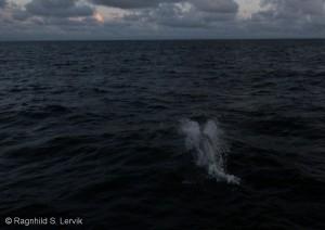 Delfiner!
